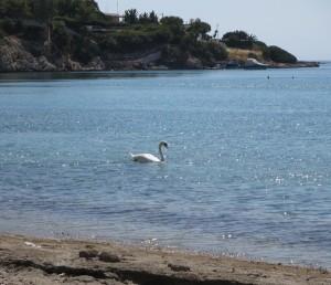 02 Porto Rafti - Schwäne im Meer