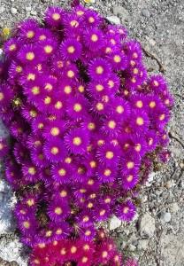 5 Santorin - Blumenpracht