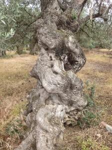 60 Trikeri alter Olivenbaum