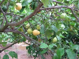 63 Zitronenbaum