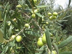 81 Oliven